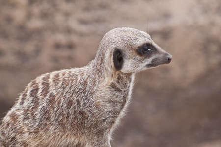 a comical meerkat portrait looking right