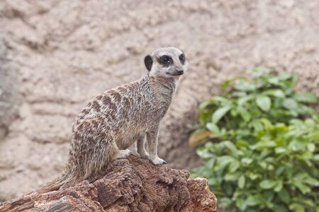 a comical meerkat sat on a branch
