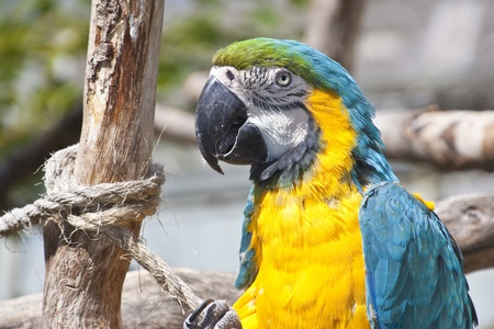 maccaw: beautiful yellow and blue maccaw portrait