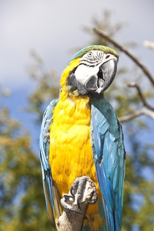 blue and yellow macaw sitting tall on branch