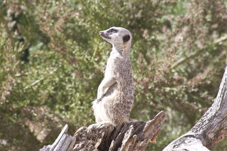 the meerkat on lookout duties photo