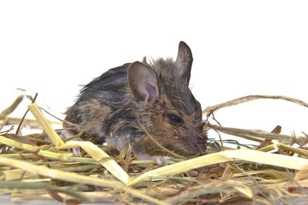 closeup of a wood mouse - Apodemus sylvaticus photo