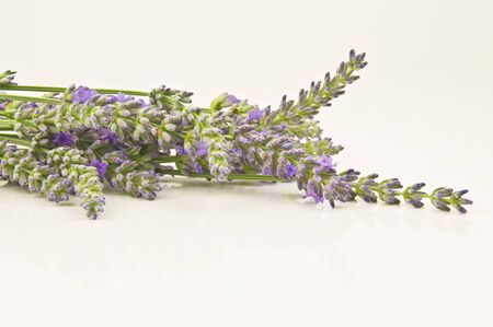 bunch of lavender flowers in soft focus Stock Photo - 15011753