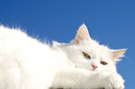 fluffy white cat captured against a blue sky