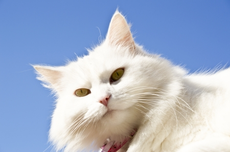 fluffy female cat with pink collar