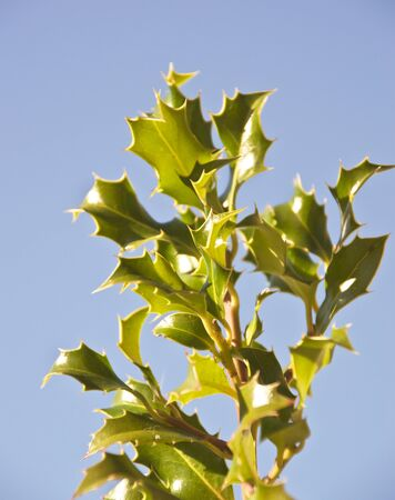 green holly leaves against blue sky