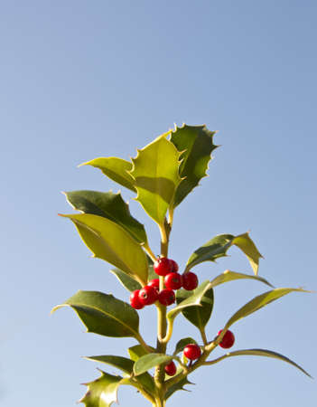 berries on holly, isolated against blue sky Stock Photo