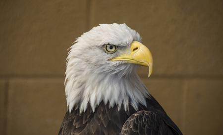 leucocephalus: Portrait of a bald eagle lat. haliaeetus leucocephalus
