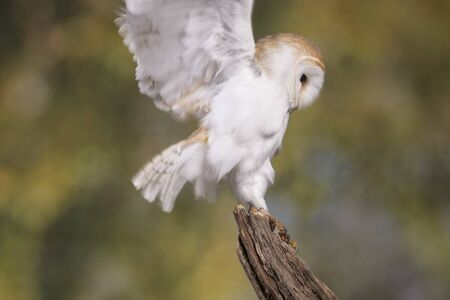 Portrait of a Barn Owl stood on a branch