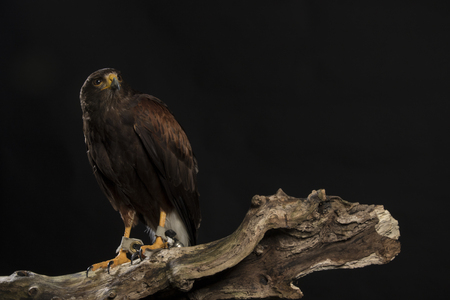 hawk: harris hawk sitting on branch, black studio background