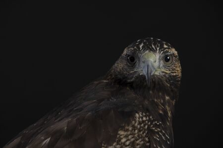 Chilean Blue Eagle portrait on black background