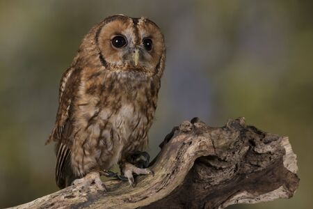 tawny owl: Portrait of a Tawny Owl stood on a branch with a woodland background