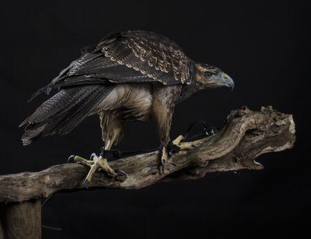 chilean: Chilean Blue Eagle on black background Stock Photo