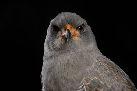 portrait of a Chanting Goshawk - black studio background Stock Photo