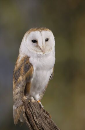 Portrait of a Barn Owl stood on a branch with a woodland background