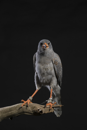 Chanting Goshawk stood on branch - black studio background Stock Photo