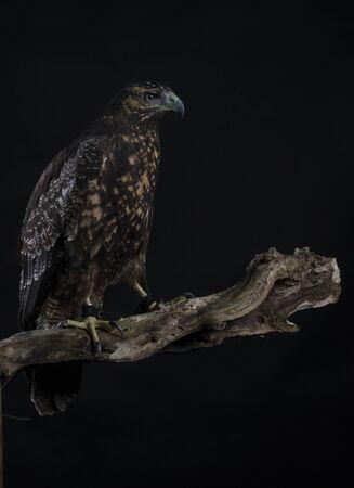 chilean: Chilean Blue Eagle portrait on black background
