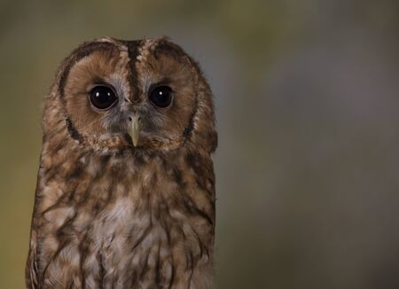 Portrait of a Tawny Owl  with a woodland background