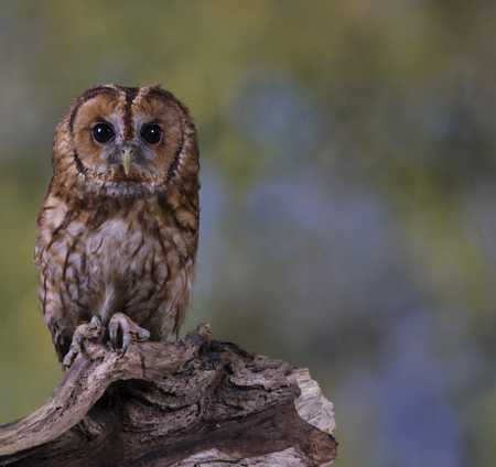Portrait of a Tawny Owl stood on a branch with a woodland background