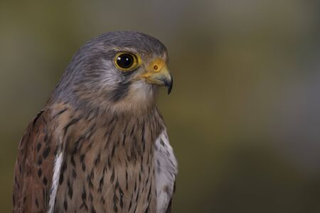 European Kestrel with woodland background