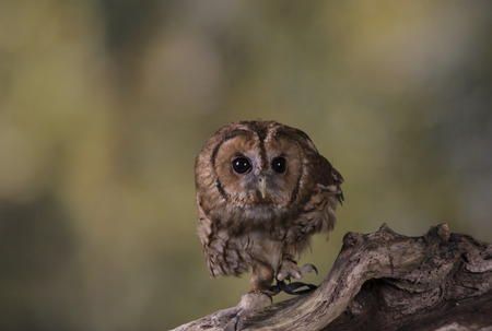 stood: Portrait of a Tawny Owl stood on a branch with a woodland background