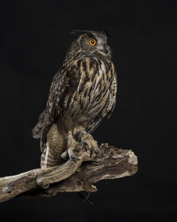 European Eagle Owl - studio black background