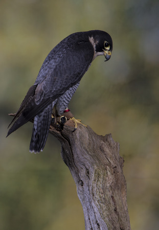 Peregrine Falcon - Studio Blurred Background