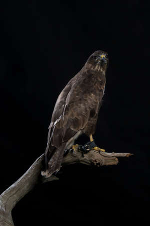 european buzzard on black background