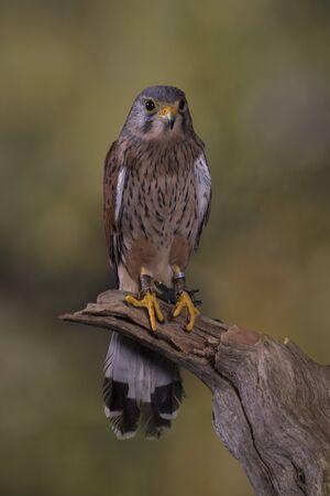 stood: European Kestrel stood on branch