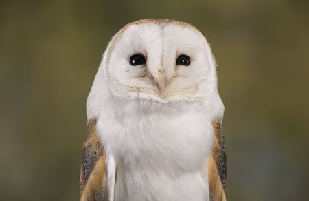 stood: Portrait of a Barn Owl stood with a woodland background Stock Photo