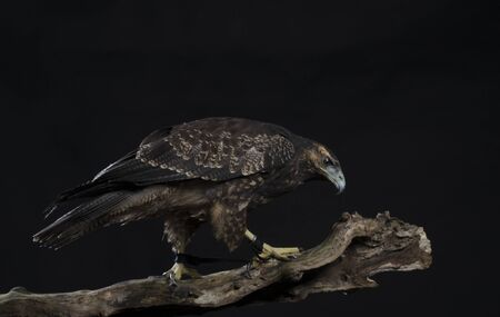 Chilean Blue Eagle on black background Stock Photo