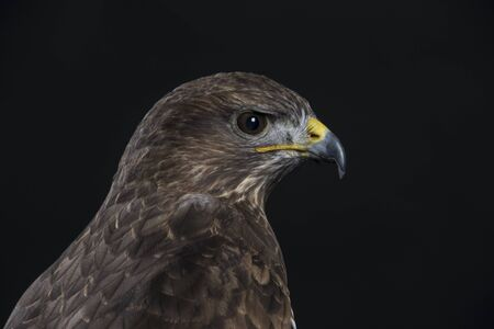 head of an european buzzard in detail on black background Stock Photo