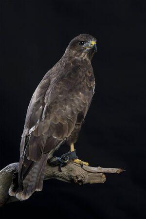 common vision: european buzzard on black background