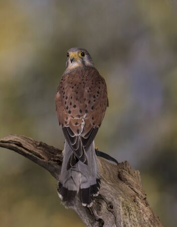 European Kestrel stood on branch