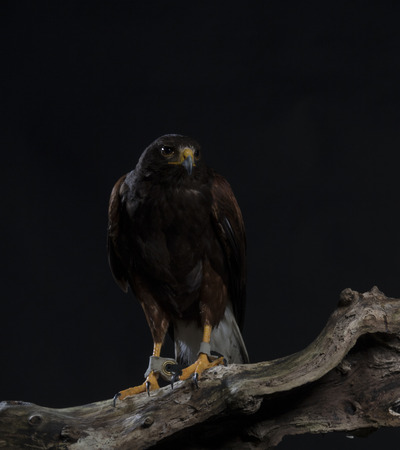 harris hawk sitting on branch, black studio background