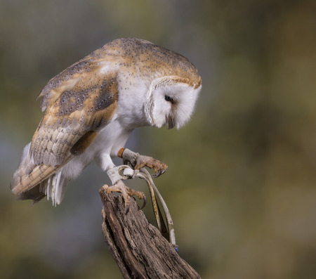 stood: Portrait of a Barn Owl stood on a branch with a woodland background