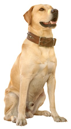 retrieve: labrador retrieve Stock Photo