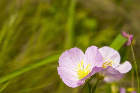 Wild Pink Primrose