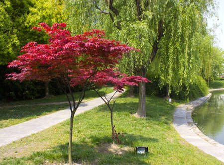 Two Chinese Maples in a park in China