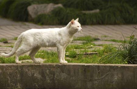 White cat on the prowl  Stock fotó