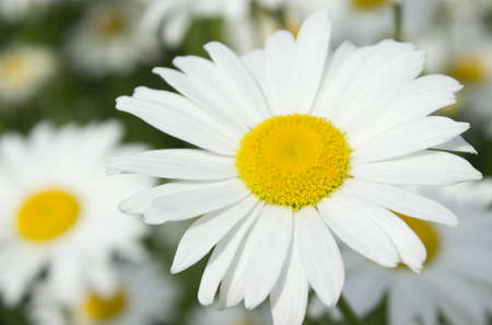 A Daisy symbolizes innocence and purity and it means loyal love  Stock Photo - 13691592