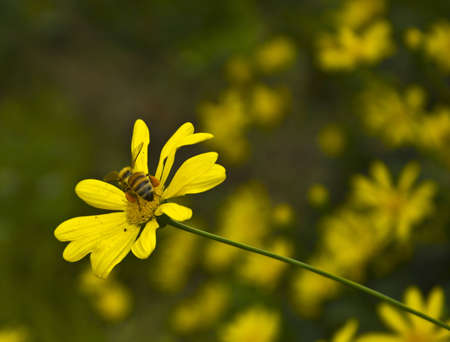 A Busy Bee on a Yellow Daisy Stock Photo