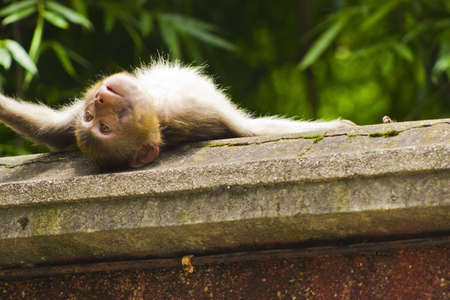 A monkey sunbathing on a wall  Stock Photo