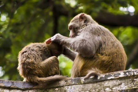 A monkey grooming another monkey