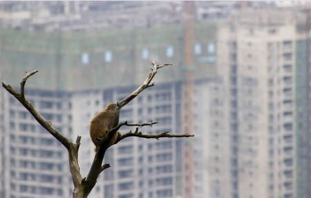A lone monkey watching smoggy city approach his home