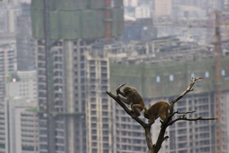 monkeys with smoggy city approaching their home  Stock Photo