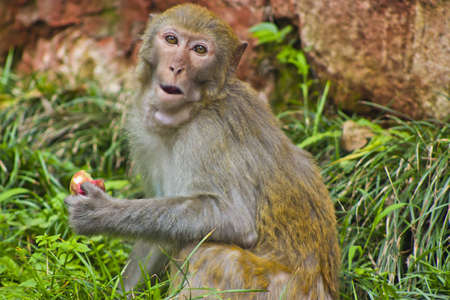 Snacking Monkey Stock Photo