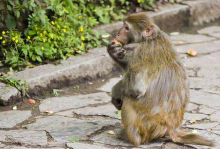bashful: Bashful Monkey Eating a Snack