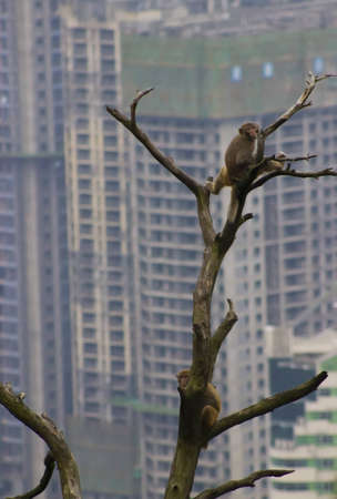 encroaching: Monkeys and Encroaching City