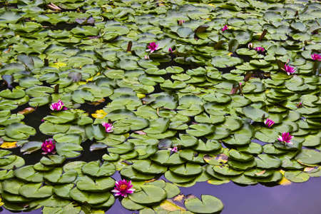 Pond full of lily pads Stock Photo